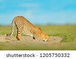 cheetah drinking water on road. ... | Shutterstock . vector #1205750332