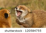 Two Red Foxes Playing