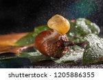 Garden Snail Creeps On A Acorn...
