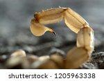 Scorpion  Buthus Occitanus ...