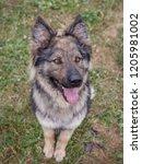 german shepherd looking up | Shutterstock . vector #1205981002
