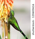 Small photo of Long-Tailed Sylph Hummingbird (Aglaiocercus kingi) on Flower, Ollantaytambo, Peru