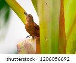 a female whiteline tanager... | Shutterstock . vector #1206056692