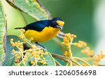 a male violaceous euphonia... | Shutterstock . vector #1206056698