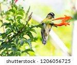 a bananquit feeds on the nectar ... | Shutterstock . vector #1206056725