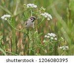 tree sparrow  passer montanus  | Shutterstock . vector #1206080395