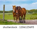 two brown horses standing on a... | Shutterstock . vector #1206125695