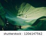 Raindrops On The Lotus Leaf