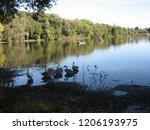 a small flock of swans feeding... | Shutterstock . vector #1206193975