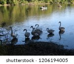 a small flock of swans feeding... | Shutterstock . vector #1206194005