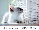 Stock photo little kitten of thai breed in the sun s rays funny cat with blue eyes on the white background 1206246535