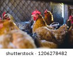 chickens on the farm. toned ...   Shutterstock . vector #1206278482