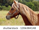 brown horse welsh pony with... | Shutterstock . vector #1206384148