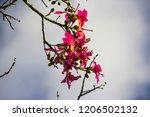pretty silk floss tree  ceiba... | Shutterstock . vector #1206502132