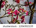 pretty silk floss tree  ceiba... | Shutterstock . vector #1206502135