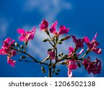 pretty silk floss tree  ceiba... | Shutterstock . vector #1206502138