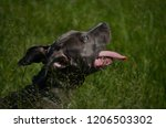 Staffordshire Bull Terrier Dog - BlueNose
