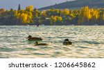 duck in lake wanaka at new... | Shutterstock . vector #1206645862