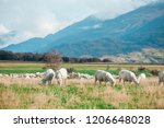 white sheep on hill in new... | Shutterstock . vector #1206648028