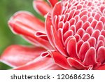 close up etlingera elatior... | Shutterstock . vector #120686236