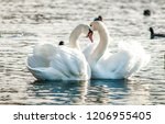 Two white swans heart water...