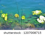 fishes and water plants in the...   Shutterstock . vector #1207008715