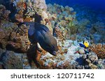 deep underwater coral reef with giant grey moray eel and fishes - stock photo