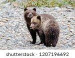 grizzly bear  ursus artos... | Shutterstock . vector #1207196692