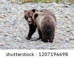 grizzly bear  ursus artos... | Shutterstock . vector #1207196698