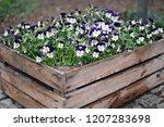 """viola tricolor var. hortensis"" ... | Shutterstock . vector #1207283698"