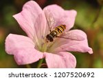 Hover Fly On Flower Close Up