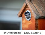 Black Capped Chickadee Bird...