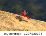 Stock photo macro of red veined dropwing dragonfly trithemis arterial on the ground at isimangaliso wetland 1207630375