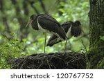 Black Stork  Ciconia Nigra