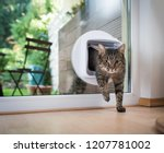 Stock photo tabby european shorthair cat entering the room through cat flap 1207781002