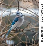 the blue jay is a passerine... | Shutterstock . vector #1207899385