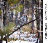hazel grouse in winter plumage...   Shutterstock . vector #1207993915