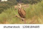 griffon vulture  gyps fulvus ... | Shutterstock . vector #1208184685