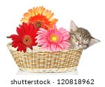 Stock photo the small kitten sleeps in a basket with flowers isolated on white background 120818962