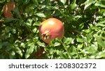The Pomegranate Botanical Name...