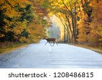 White Tailed Deer Crossing A...