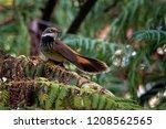 rufous fantail   rhipidura... | Shutterstock . vector #1208562565