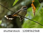 rufous fantail   rhipidura... | Shutterstock . vector #1208562568