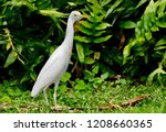 Poised Egret Standing Tall With ...