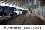 jersey cross heifer in dairy... | Shutterstock . vector #1208741995