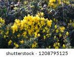 Gorse Flowers   Ulex Europaeus  ...