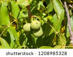green walnut walnuts in mid... | Shutterstock . vector #1208985328