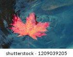 Autumn Maple Leaf Sinking In...