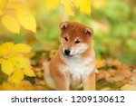 Stock photo portrait sitting little puppy akita inu dog autumn in the park in autumn leaves 1209130612