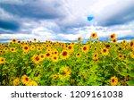 sunflower field landscape.... | Shutterstock . vector #1209161038